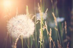 Puszysty dandelion, w górę, miękka ostrość Tonować w stylu instagram zdjęcia stock