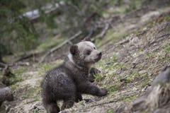 Puszysty dziecko niedźwiedź obraca wokoło Obrazy Stock