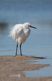 puszysty egret biel Obraz Royalty Free