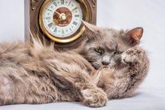 Puszysty gnuśny kot kłama blisko zegaru Ja ` s czas wstawał i g Obrazy Stock