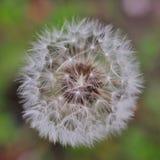 Puszysty i piękny dandelion kwiat Obrazy Stock