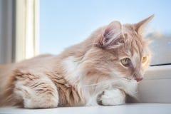 puszysty imbirowy kota lying on the beach na windowsill Fotografia Royalty Free