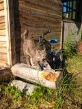 Puszysty jasnobrązowy przybłąkany kot rozciąga i narysy drapają na beli blisko dom na wsi w słońcu w wiośnie, obraz royalty free