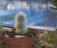 Puszysty kaktus w garnku Zdjęcie Stock