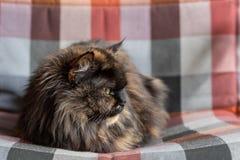 Puszysty kot z dokładnym spojrzeniem kłama na barwiącym łóżku z przesłoną z bliska fotografia stock