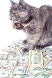 Puszysty kot z kolorem żółtym ono przygląda się nad dolarami pasiasty Zdjęcia Royalty Free