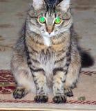 Puszysty kot z rozjarzonymi dużymi oczami fotografia stock