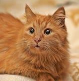 puszysty kota imbir Zdjęcie Royalty Free