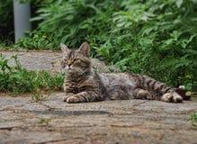 Puszysty kota odpoczywać Zdjęcia Royalty Free
