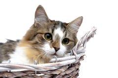 Puszysty kota zakończenie up na białym tle Obrazy Royalty Free