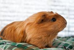 puszysty królik doświadczalny fotografia stock