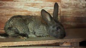 Puszysty królik patrzeje ciebie i huśtania jego nos zdjęcie wideo
