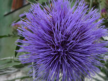 Puszysty lila kwiat obrazy stock