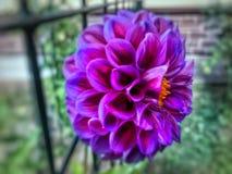 Puszysty mauve kwiat zdjęcie stock