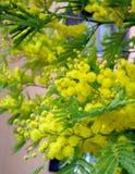 Puszysty mimozy drzewo kwitnie wiosnę Międzynarodowy kobiety ` s dzień Pogodne żółte mimozy zdjęcia stock
