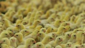 Puszysty nowonarodzony kurczaka bieg w ciepłym inkubatorze zbiory