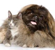 Puszysty Pekingese wpólnie i kot pojedynczy białe tło zdjęcie royalty free