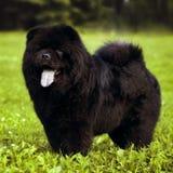 Puszysty pies hoduje Chow Chow czerni spacery w lecie Zdjęcie Stock