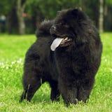 Puszysty pies hoduje Chow Chow czerni spacery w lecie Obraz Stock