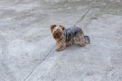 Puszysty pies w podwórku 02 Fotografia Stock