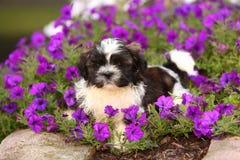 Puszysty Shih Tzu szczeniak kłaść w kwiatach Zdjęcie Royalty Free