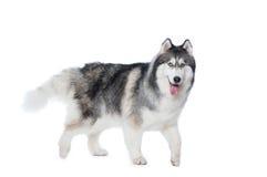 Puszysty Syberyjskiego husky psa odprowadzenie na białym tle Zdjęcie Royalty Free