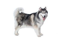 Puszysty Syberyjskiego husky psa stojak na białym tle Zdjęcie Royalty Free