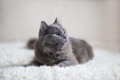 Puszysty szary kota obsiadanie na leżance Zdjęcia Stock