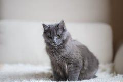Puszysty szary kota obsiadanie na leżance Obrazy Stock