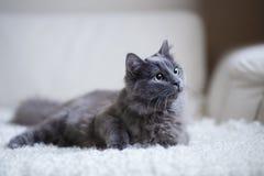 Puszysty szary kota obsiadanie na leżance Zdjęcie Royalty Free