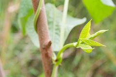 Put forth leave-buds or treetop. In nature Royalty Free Stock Photography