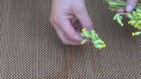 Put fresh cowslip medical flowers for drying stock video footage