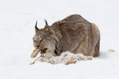 Put your foot in your mouth. Lynx with foot of snowshoe hare in mouth Royalty Free Stock Photos