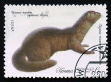 Putorius för mörk brunt för mink lutreola, serie, circa 1980 Fotografering för Bildbyråer