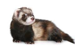 putorius mustela furo ferret Стоковое Изображение