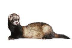 putorius mustela furo ferret Стоковая Фотография