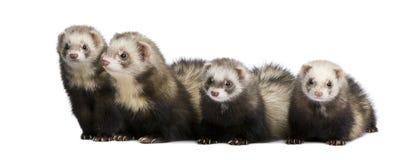 putorius mustela furo ferret Стоковая Фотография RF