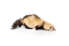 putorius mustela furo ferret Стоковое Фото