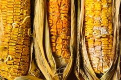 Putréfaction de maïs images libres de droits