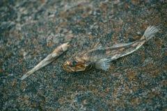 Putréfié, mort, se décompose, les poissons empoisonnés se trouve sur la banque de la rivière Images libres de droits