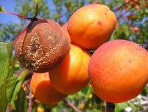 Putrefacción de la fruta foto de archivo libre de regalías