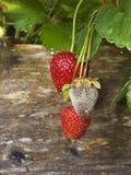Putrefacción de la fruta de la botritis de fresas fotografía de archivo libre de regalías