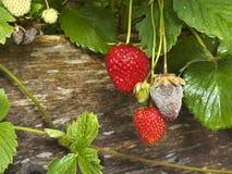 Putrefacción de la fruta de la botritis o Gray Mold de fresas Fotos de archivo