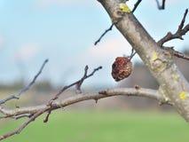 Putrefacción de la fruta de manzanas fotografía de archivo