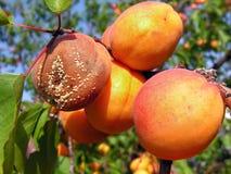 Putrefacción de la fruta en los albaricoques maduros imagenes de archivo