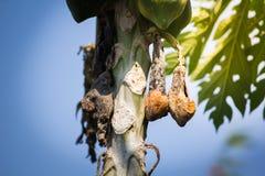 Putrefacción de la papaya en el árbol de papaya fotografía de archivo libre de regalías