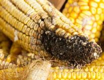 Putrefacción del maíz foto de archivo libre de regalías
