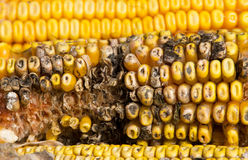 Putrefacción del maíz fotografía de archivo libre de regalías