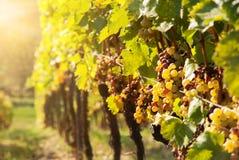 Putrefacción noble de una uva de vino, fotografía de archivo
