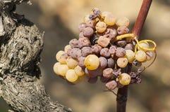 Putrefacción noble de una uva de vino, uvas con el molde, botritis Fotos de archivo libres de regalías